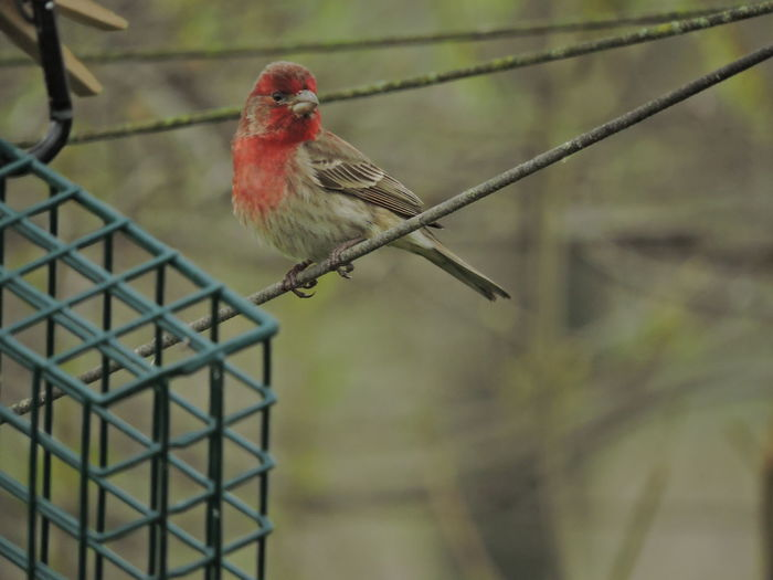 House Finch Bird Vertebrate Animal Themes Animal One Animal Animals In The Wild Animal Wildlife Perching Focus On Foreground No People Day Red Outdoors Close-up Branch Selective Focus Metal Tree Cardinal - Bird Nature