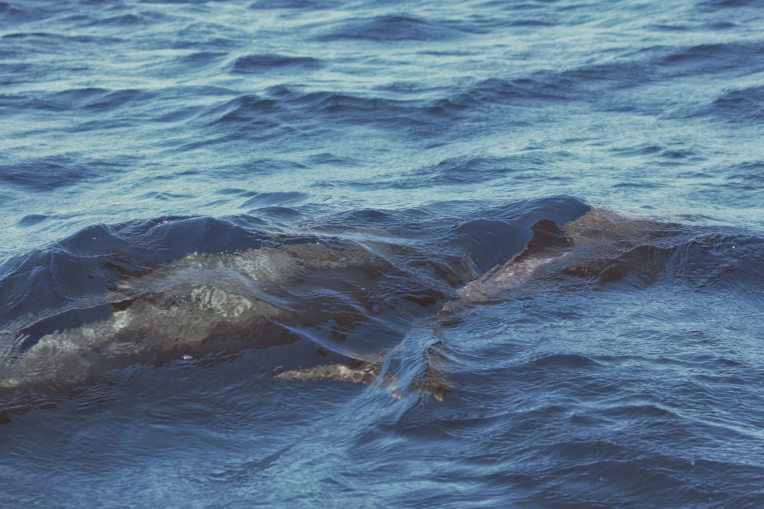 water, animal themes, sea, animals in the wild, swimming, one animal, no people, nature, waterfront, sea life, animal wildlife, day, beauty in nature, close-up, outdoors, mammal, undersea