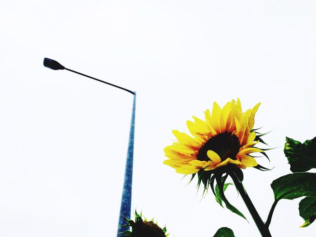 Sunflower Hello World Taking Photos Walking Around Relaxing IPhoneography Flowers