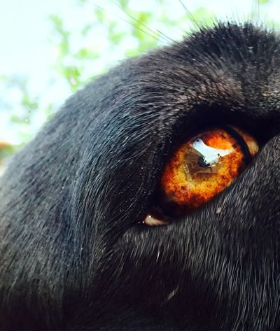 DogLove Eye My Dog Cane Corso