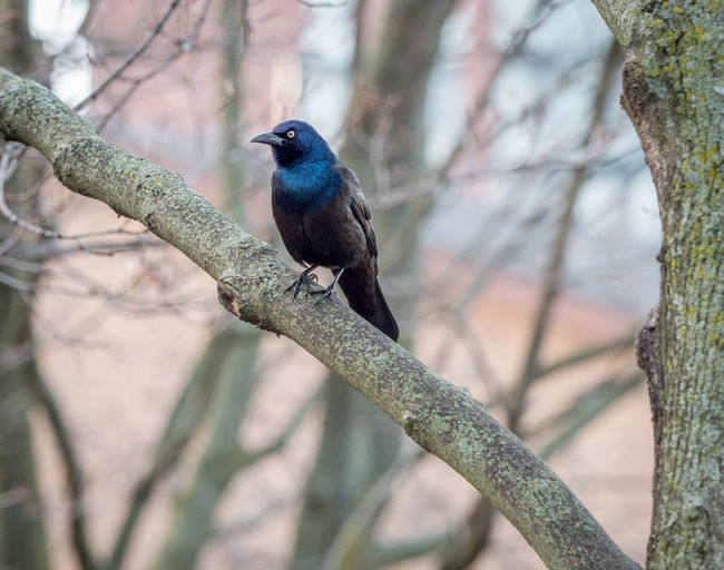 Animal Animal Themes Animal Wildlife Animals In The Wild Beauty In Nature Bird Branch Close-up Day Focus On Foreground Nature No People One Animal Outdoors Perching Plant Selective Focus Starling Tree Turquoise Colored Vertebrate