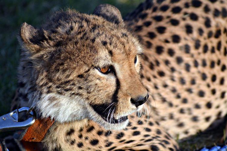 High angle view of cheetah