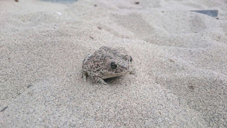 Toad Toadinthesand
