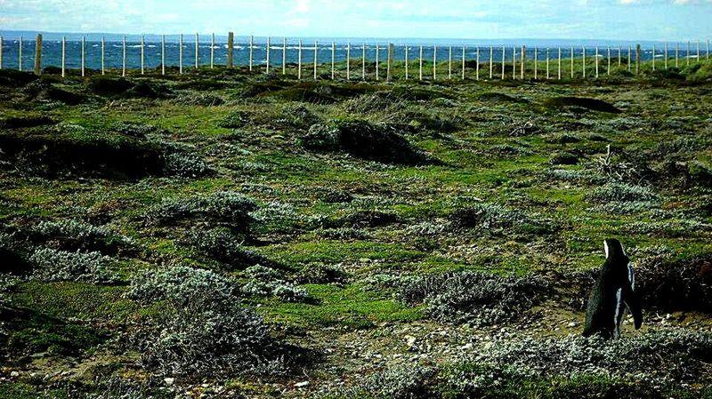 Outdoors Landscape Animal Themes Nature Field No People Pingüino Pinguin