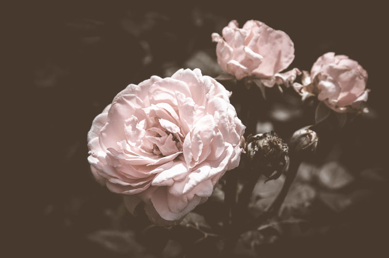 Rose Vintage Flowers In warm tones Beauty In Nature Blooming Close-up Flower Flower Head Fragility Freshness Growth Nature No People Outdoors Petal Rose - Flower Wild Rose