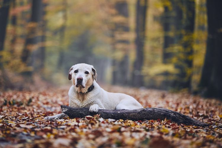 Sad dog in autumn forest. Old labrador retriever lying on pathway with stick. Sad Sadness Alone Lonely Loneliness Dog Pets Animal Themes Animal Forest Footpath Pathway Lying Down Old Senior Adult Relaxation Labrador Labrador Retriever Looking At Camera Autumn Fall Leaves Colorful Nature WoodLand