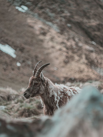 View of ibex