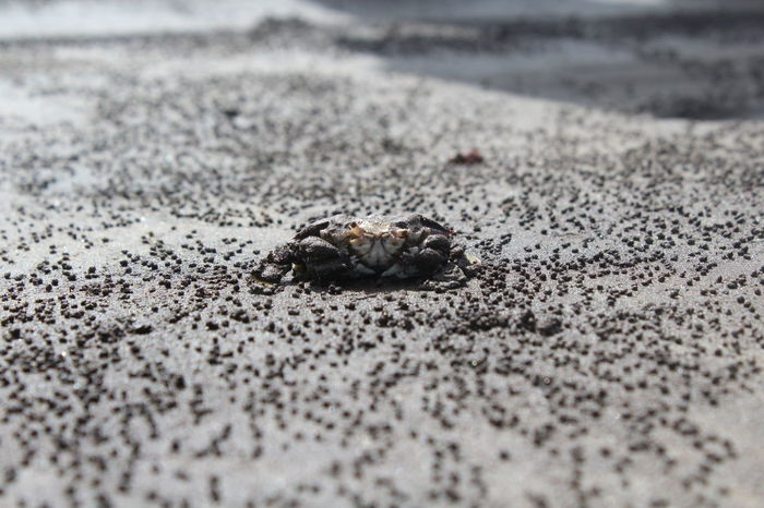 Beach Sand No People Beach Nature Outdoors Close-up One Animal Crab On The Beach First Eyeem Photo