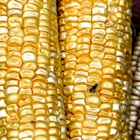 Corn Insect Animals In The Wild Animal Wildlife Animal Themes No People One Animal Close-up Outdoors Day Nature Freshness Corns Fujifilm_xseries
