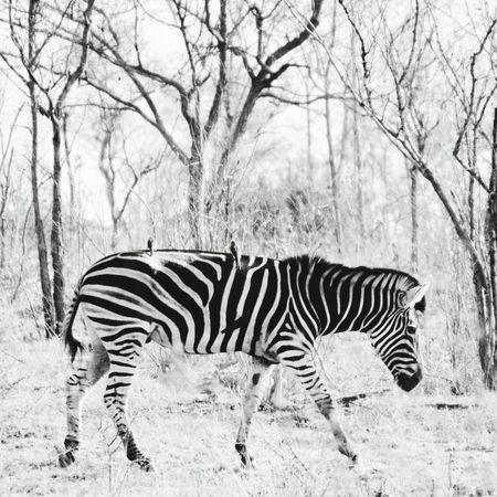 Animal Themes Animals In The Wild Zebra Wildlife Striped Zoology Animal Nature South Africa Blackandwhite