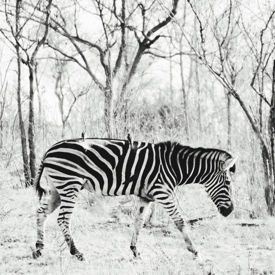 Animal Themes Animals In The Wild Zebra Wildlife Striped Zoology Animal Nature South Africa Blackandwhite