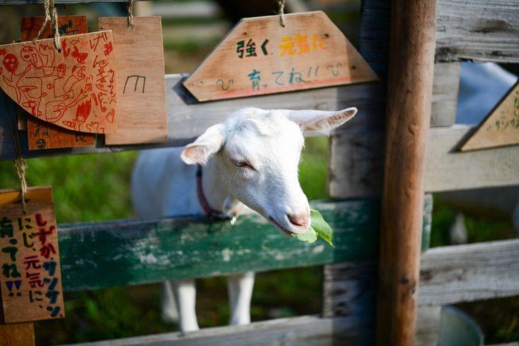 人懐っこい山羊。 Mammal Animal Animal Themes Domestic Animals Vertebrate Livestock Domestic One Animal No People Day Fence Goat Nature