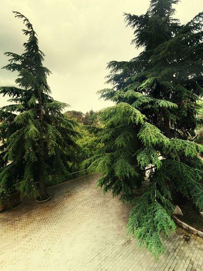 Driveway Cedar Tree Evergreen Lebanon