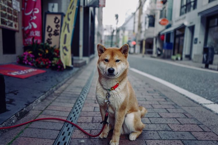 I am dog ( Year of dog ) : 1st encounter on the street, Nagasaki City today 1st shot. LEICA Q 28mm No filter Handheld+Photos 3.0 edit de Dog monday afternoon Shibainu Around The World Portrait LEICA Q Low Position 28mm F/1.7 No Filter No Edit Focus On Foreground Today's 1st Shot On The Streets Street Photography Street Portrait Year Of The Dog Dog Domestic Animals Animal Themes One Animal Street Mammal No People