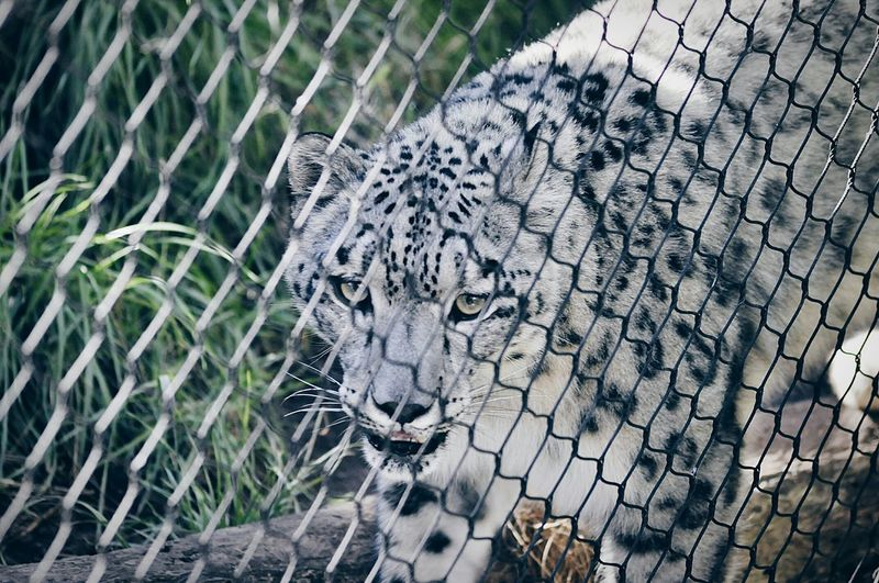 Animals Animal Themes No People One Animal Mammal Close-up Cage Outdoors Day Feline Leopard Zoo Animals In The Wild EyeEm Animal Lover Nature Relaxation Animals In Captivity