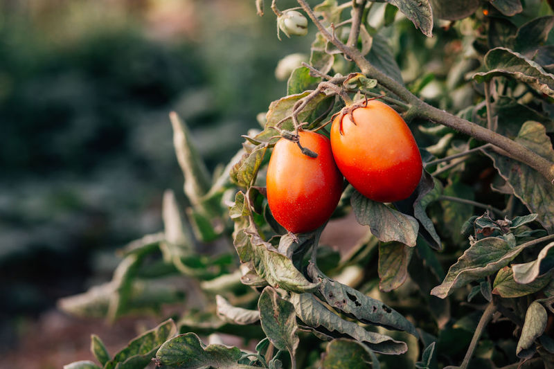 Organic tomatoes Beauty In Nature Day Focus On Foreground Food Food And Drink Freshness Fruit Green Color Growth Healthy Eating Leaf Nature Organic Organic Farm Organic Food Outdoors Plant Plant Part Red Red Tomatoes Ripe Tomato Tomatoes Vegetable Wellbeing