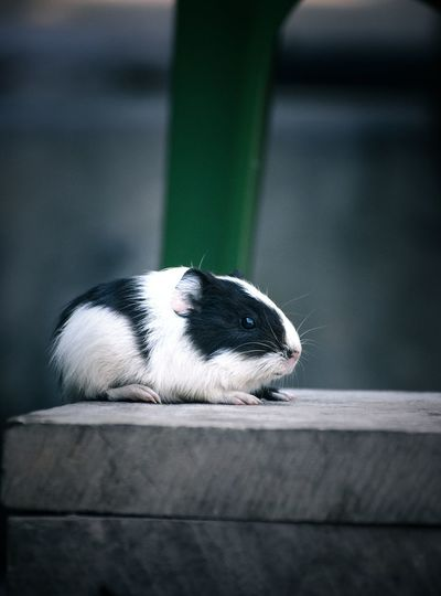 Close-up of guinea pig on wood