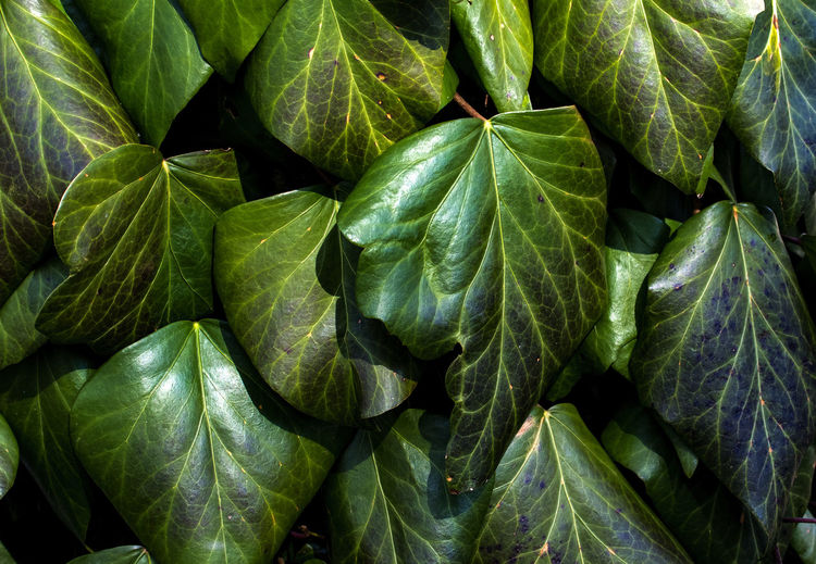 Shiny Shiny Leaves Backgrounds Beauty In Nature Close-up Day Full Frame Green Color Green Leaves Growth Leaf Leathery Nature No People Outdoors