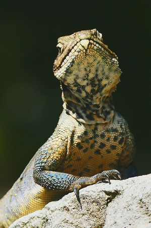 Himalayan Lizard Black Background No People Reptile Standing Close-up Animals In The Wild Beauty In Nature Shadows & Lights EyeEm Nature Lover EyeEmNewHere Small And Swift Animal Wildlife Textured  Lizard Nature Lizard Watching Lizards In The Sun Lizaratravelphotography Lizardlove