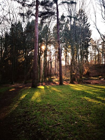 Sun beams through the trees on a cold, crisp day Sun Rays Portrait Cold And Crisp Nature Contrast Tranquility Colour Sun Beams Country Walks Sunshine Life 3 Filter Huawei Mate 10 Pro Gateshead Nature Tyne And Wear Woodland Walk Tree Field Sky Grass Landscape Bare Tree Woods