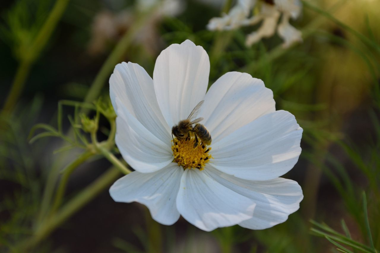 flower, petal, white color, nature, growth, flower head, one animal, beauty in nature, fragility, pollen, freshness, animal themes, plant, day, no people, focus on foreground, outdoors, animals in the wild, blooming, close-up
