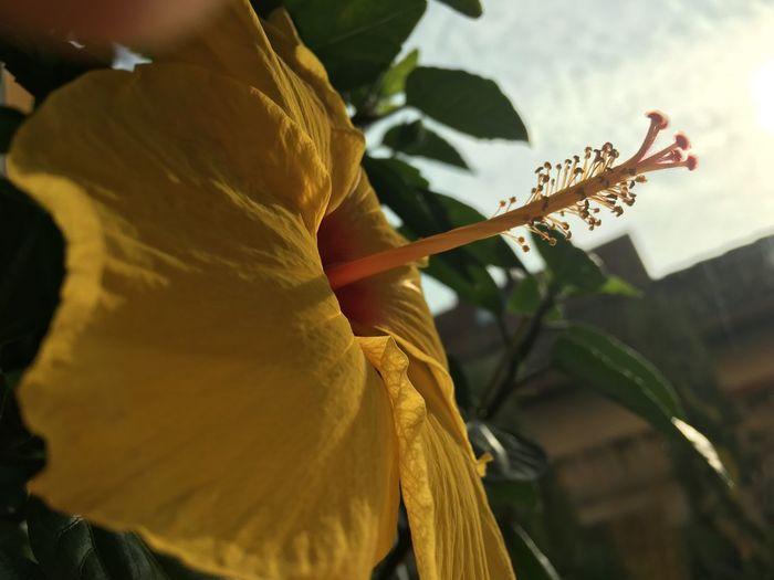 Ibiscus Flowers