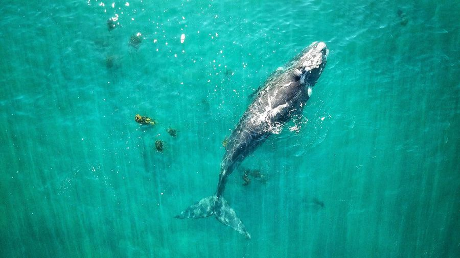 High angle view of lone whale swimming in the sea