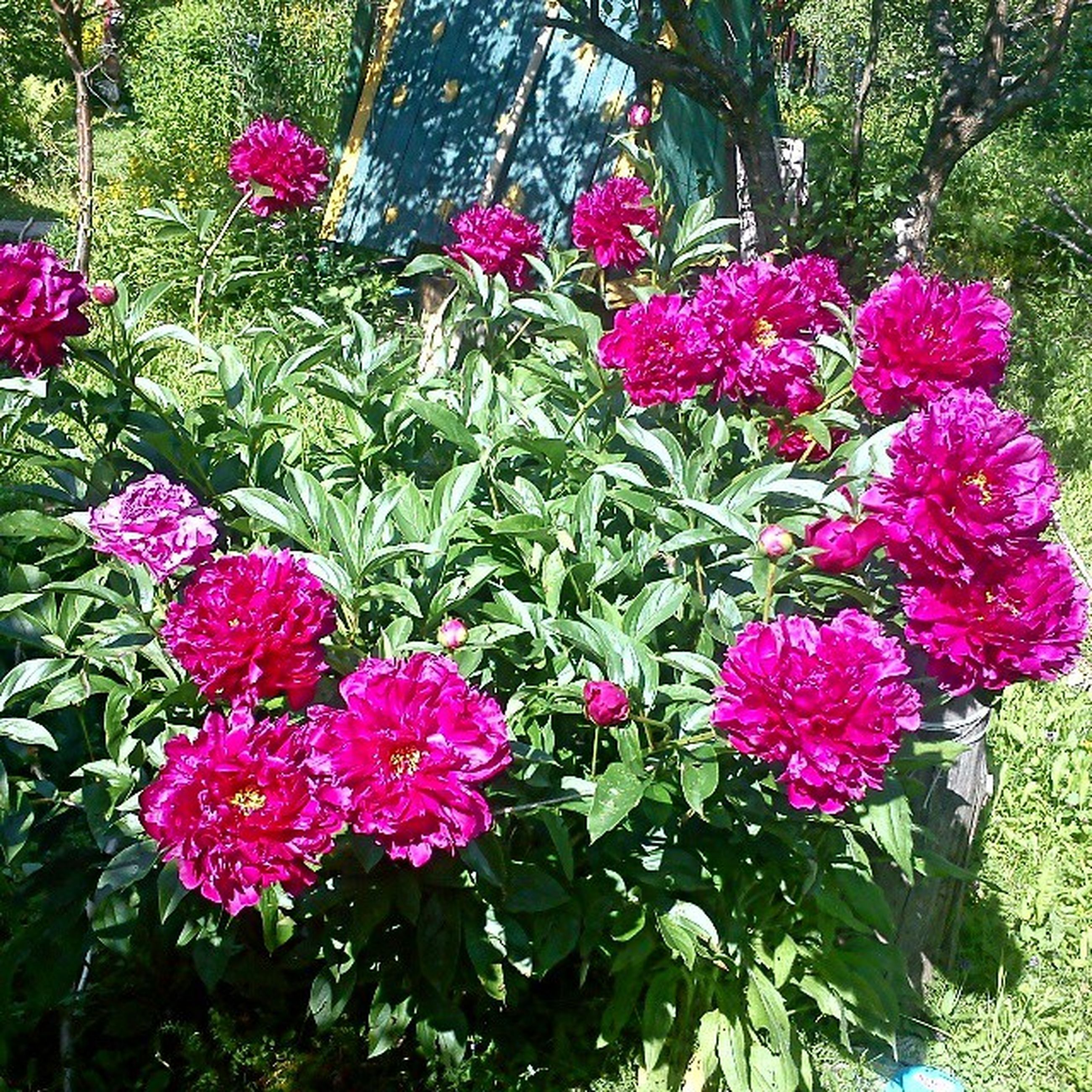 flower, freshness, pink color, growth, fragility, beauty in nature, petal, blooming, plant, nature, leaf, flower head, in bloom, blossom, park - man made space, green color, pink, springtime, day, tree