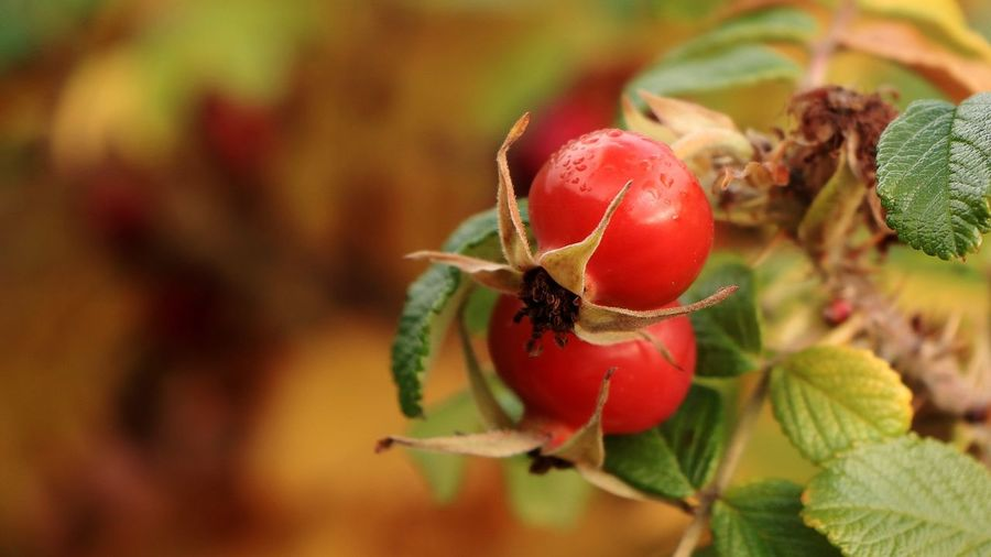 Close-up of cherries on plant