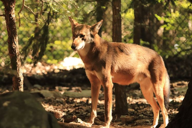 Red Wolf Zoo Photography  Red Wolf Animal Themes Animal One Animal Mammal Vertebrate Land Sunlight Animal Wildlife Standing Nature Field Tree No People Day Focus On Foreground