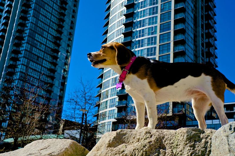 Summer Dogs Sophie surveying her territory in Yaletown Vancouver Beagle Dog Urban