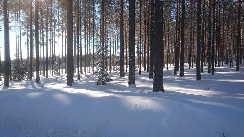 Tree Snow Cold Temperature Winter Forest Sunlight Pinaceae Shadow Pine Tree Sky Pine Woodland Deep Snow WoodLand Tree Trunk Tree Area Bark Woods