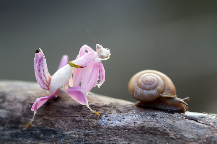 mantis and snail Flower Close-up Animal Flowering Plant Beauty In Nature Fragility Plant Animal Themes Invertebrate Animal Wildlife Pink Color Gastropod Snail Mollusk Vulnerability  Nature Shell No People Animals In The Wild Petal Flower Head Outdoors