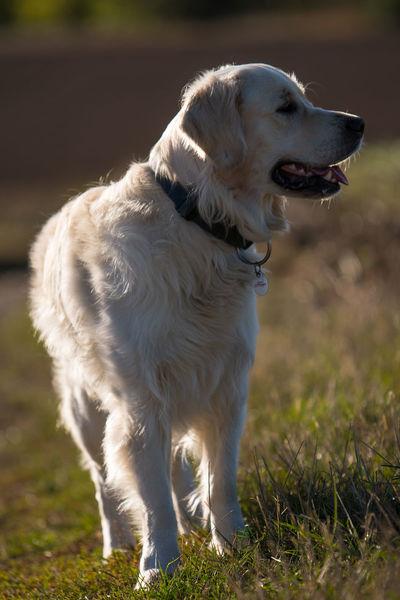 Dogs Dogs Of EyeEm Golden Retriever Hundeliebe Dog Goldenretrieversofinstagram Hundefotografie Nature