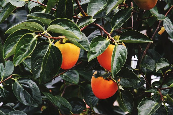 Fruit Food And Drink Food Leaf Agriculture Freshness Healthy Eating Tree Growth Citrus Fruit No People Close-up Outdoors Day Sweet Food Nature Autumn🍁🍁🍁 Fall Persimmon Fruit Orange Color Green Color Orange Tree Beauty In Nature