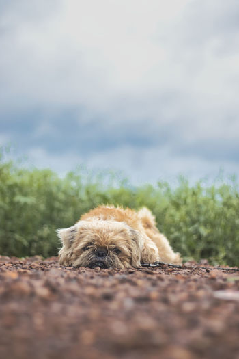 Close-up of a dog lying on field