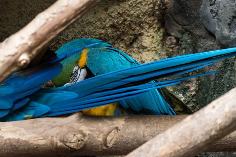 Shady Blue Animal Animal Themes Animal Wildlife Vertebrate Animals In The Wild Bird Macaw Close-up No People Gold And Blue Macaw Parrot Animals In Captivity