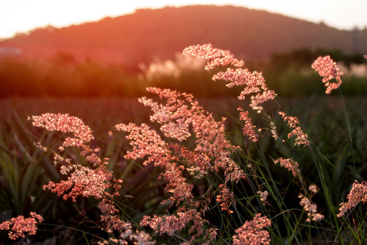 Sunset above the hill with high grass in the foreground Ass, Background, Beautiful, Beauty, Bokeh, Bright, Concept, Dawn, Design, Evening, Feather, Flower, Glow, Grass, Green, High, Landscape, Light, Meadow, Mission, Morning, Mountain, Natural, Nature, Night, Over, Pattern, Pennisetum, Photography, Plant, Ray, Beauty In Nature Close-up Freshness Nature No People Outdoors Plant
