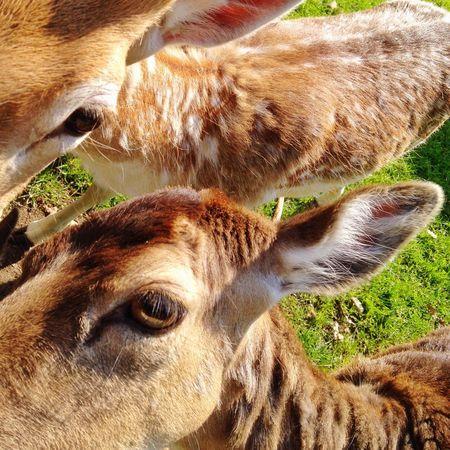 Fallow Deer Deer Damwild Animals Animal Eyes Zoo