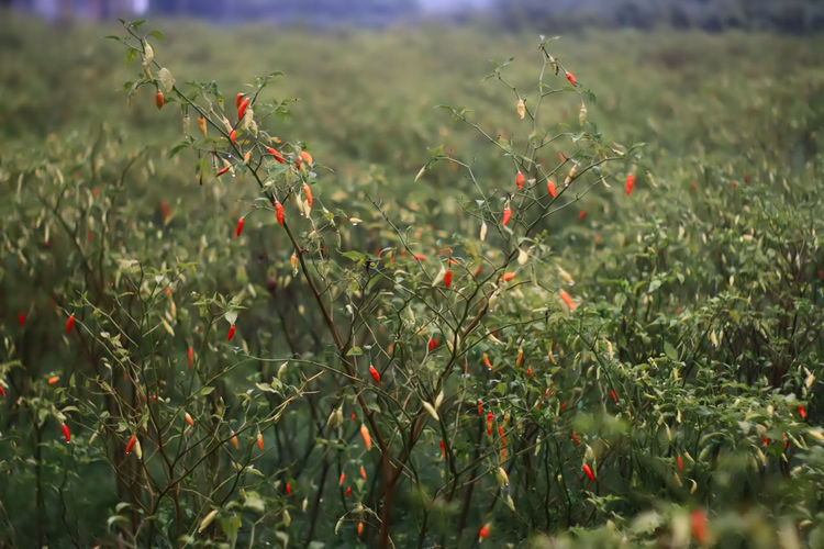 chili plant Chili Pepper Plant Background Beauty In Nature Chili Plant Close-up Day Field Focus On Foreground Freshness Green Color Growth Nature No People Outdoors Plant Red Tree Leaf Agriculture Plantation