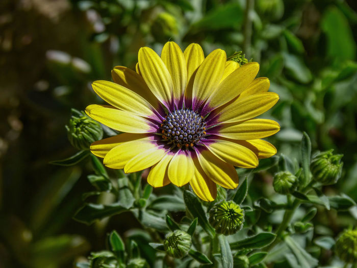 Attribute Backgrounds Beauty Bloom Blossom Brightly Cheerful Color Copy Daisy Emotion Family Flower Focus Green Growth HEAD Horizontal Image Lit Living Love Nature Organism Part Petal Photography Plant Purple Selective Space Stage Sunlight Sunny