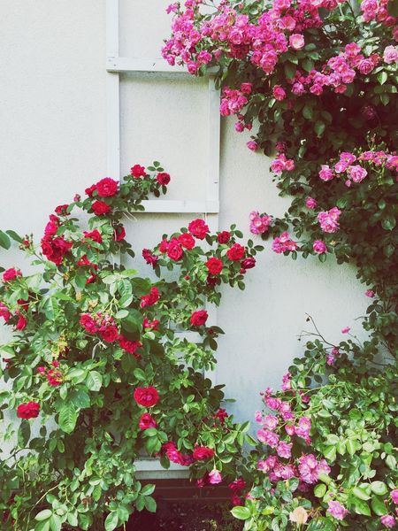 The Essence Of Summer Garden Flowers My Garden Flower Rose🌹 View Beautiful Love It Lovely View Growing Blossoming  Lovely Enjoy