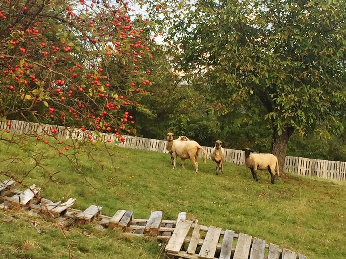 Sheep, small holding Slovakia Sheep Farm Farming Traveling Travel Livestock Slovakia Europe Grazing Domestic Animals Outdoors Animals Nature Nature_collection