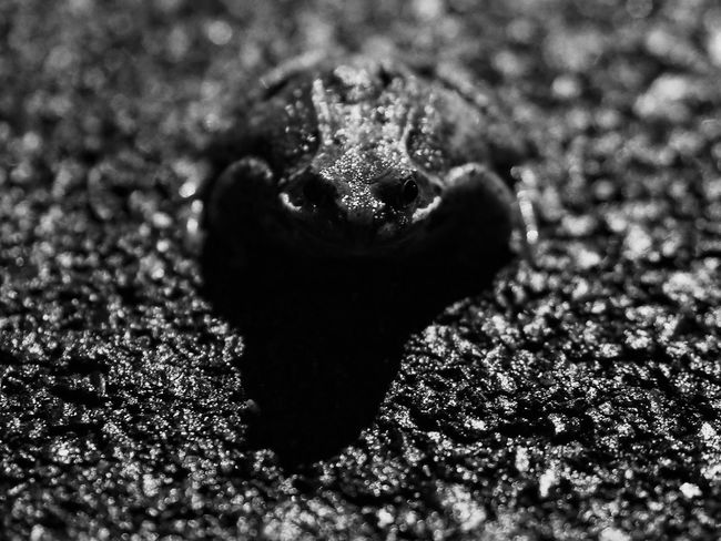 Toad Animals Blackandwhite Night M.Zuiko 45mm 1:1,8