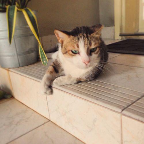 Street Cat Arabianmau Bincatmillionaire Dubai UAE