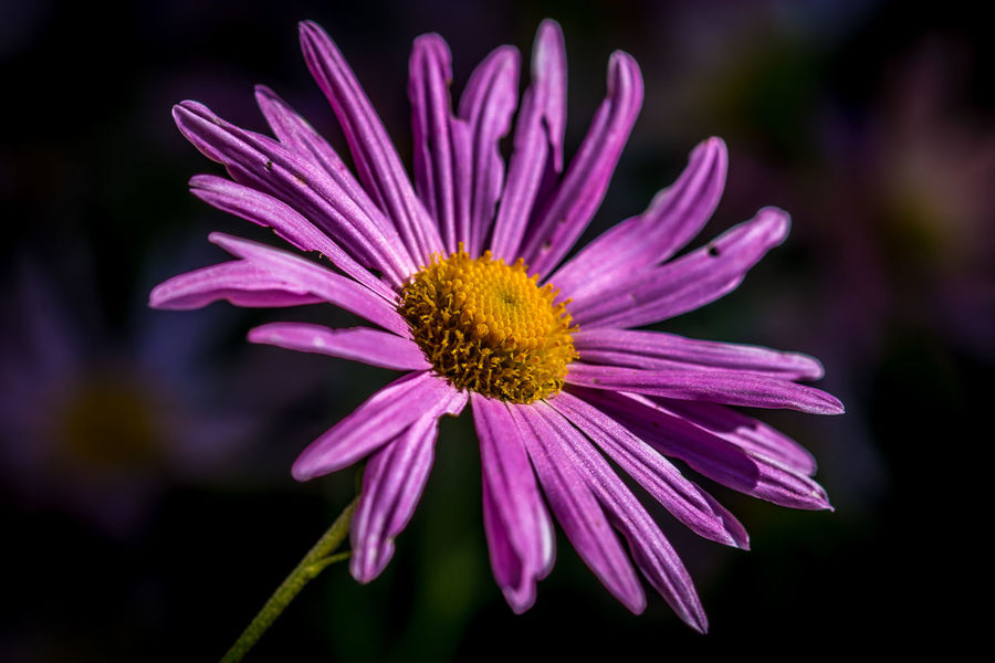 A single pink Astor flower beaming in the early morning sunlight. Flowers Aster Beauty In Nature Blooming Flower Flower Head Freshness Lighting Nature Outdoors Petal Plant Pollen Purple