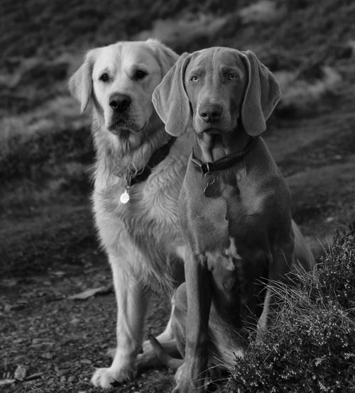 Lake District Animal Themes Blackandwhite Day Dog Domestic Animals Golden Retriever Hill Loyalty Nature No People Outdoors Pet Pets Regal Weimaraner