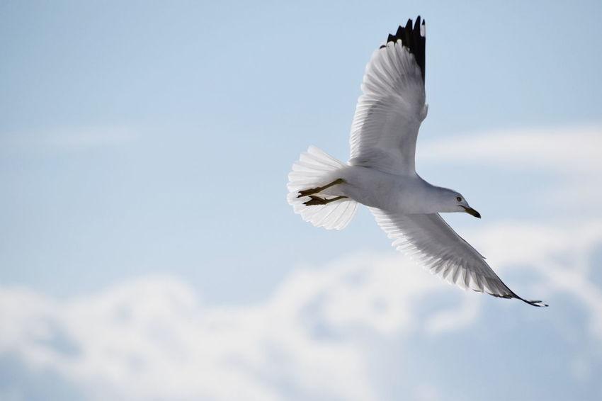 Seagull in flight Cloud Bird Spread Wings Flying Sky Cloud - Sky Seagull Flapping Animal Wing Sea Bird Water Bird Shore Fly