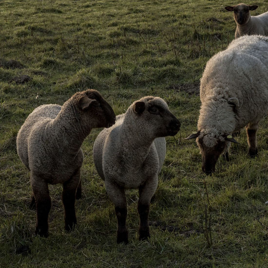SheepSheep Animal Themes Animals In The Wild Day Domestic Animals Field Grass Grazing Livestock Mammal Nature No People North Germany Outdoors Schleswig-Holstein Sheep Togetherness Young Animal