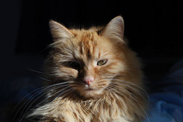 majestic cat Cat Cats Of EyeEm Catsofinstagram Cats 🐱 Red Hair Red Color EyeEmNewHere Eye4photography  EyeEm Gallery Love To Take Photos ❤ EyeEmBestPics Cat Lovers Catoftheday Cats 🐱 Catlovers Cat Photography Cateyes Majestic Majestic Animal
